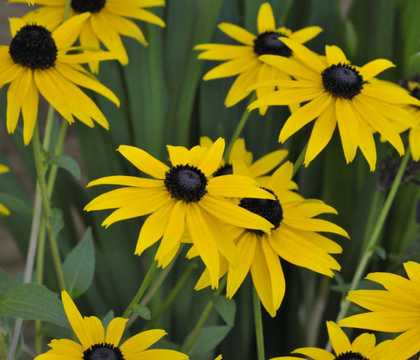 Lovely bright colours on a summers day Green Beauty In Nature Black-eyed Susan Close-up Flower Flower Head Flowering Plant Focus On Foreground Fragility Freshness Growth Nature Outdoors Petal Plant Pollen Vulnerability  Yellow
