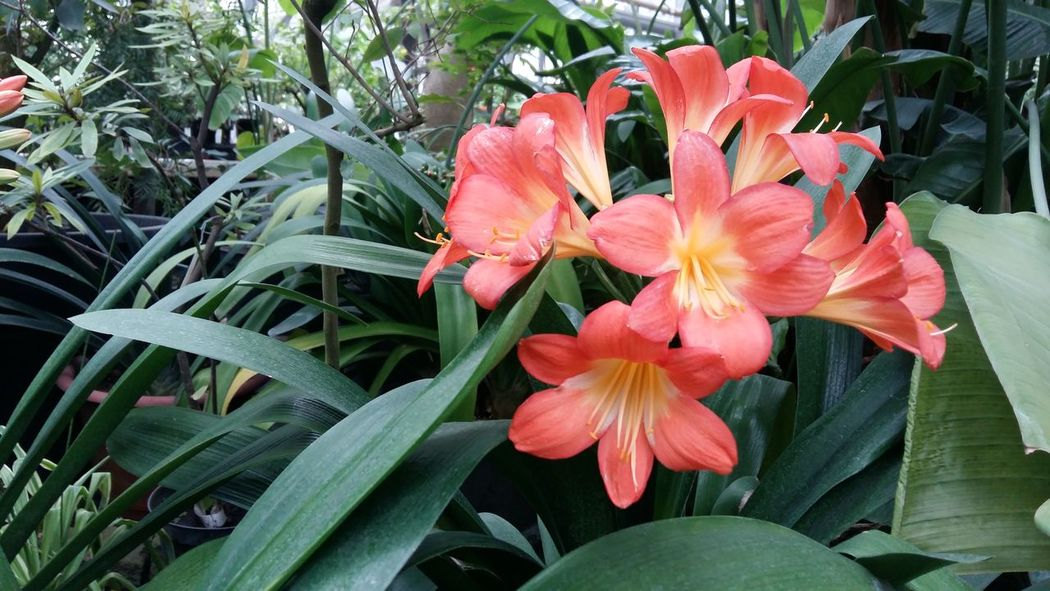 Flower Growth Petal Flower Head Plant Fragility Beauty In Nature Nature Freshness Outdoors Blooming Day No People Close-up Day Lily