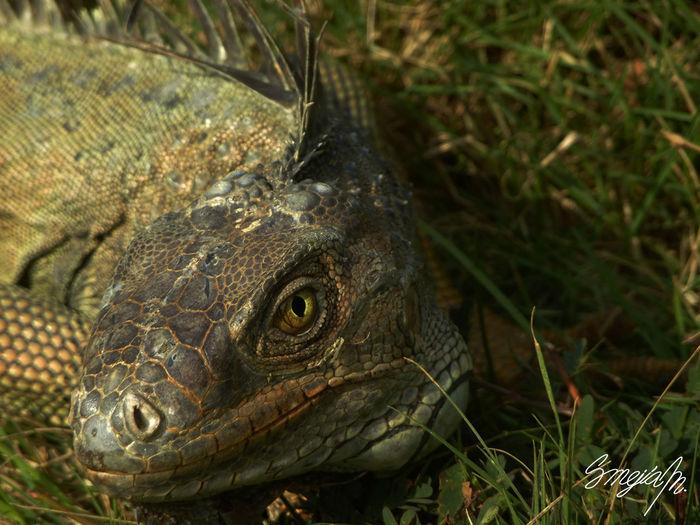 Animal Eye Animal Themes Animal Wildlife Close-up Eye Iguana Nature One Animal Reptile