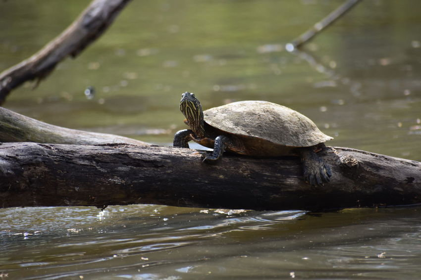Animal Animal Themes Animal Wildlife Animals In The Wild Cooter Day Driftwood Lake Log Nature No People One Animal Outdoors Painted Turtle Perching Slider Timber Tree Turtle Vertebrate Water Waterfront Wood - Material