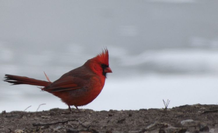 Winter's Forage Redbird Cardinal Bird One Animal Animal Themes Red Animals In The Wild No People Perching Animal Wildlife Nature Outdoors Close-up