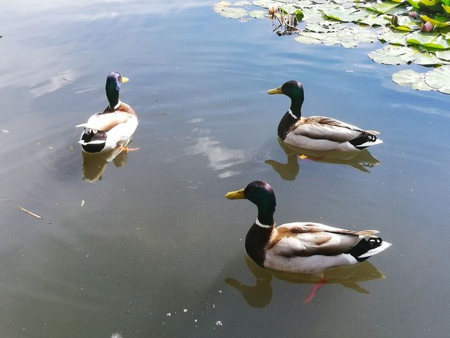 Três patinhos :-) Ducks Ente! Patos Foto De Revista Nature_collection Check This Out Enjoying Life Natural Beauty Maenatureza