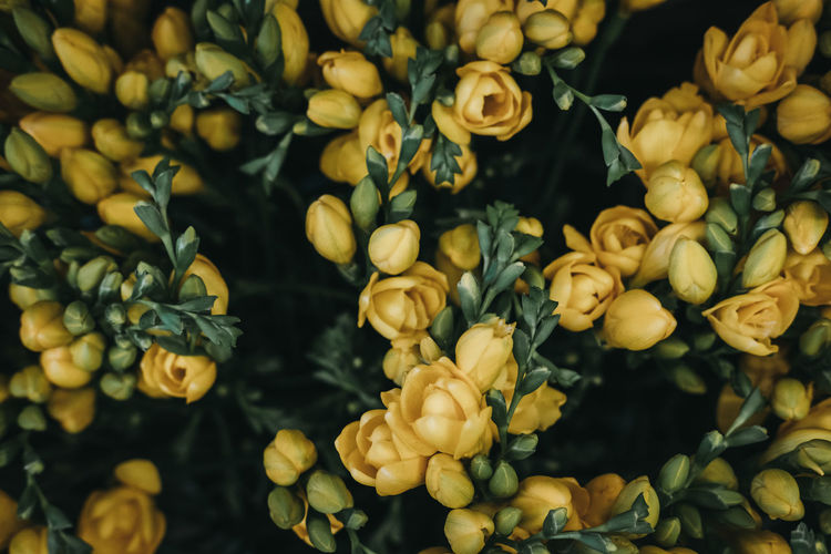 Close up of delicate blossoming yellow flowers, shallow focus.
