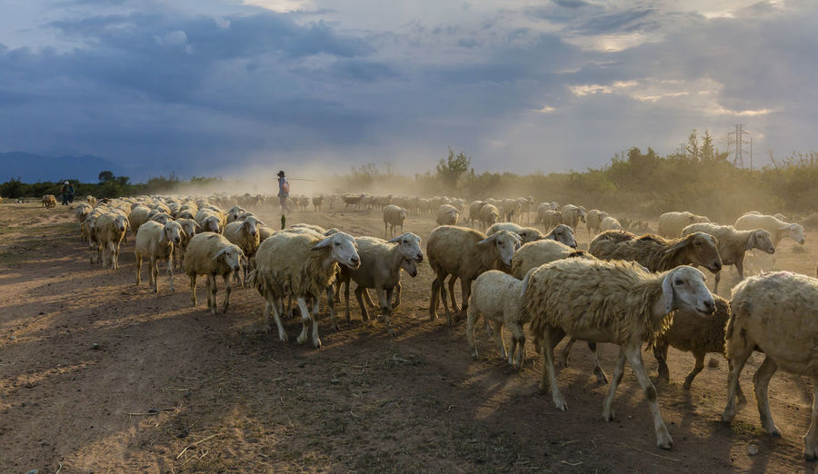 Commander of the sheep Agriculture Animal Themes Domestic Group Of Animals Large Group Of Animals Nature Sheep Walking