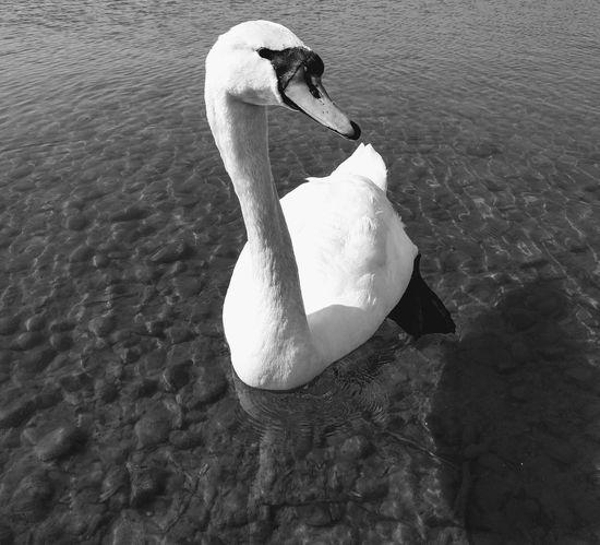 Schwarz & Weiß Schwan  Wildvogel Wildlife Water High Angle View Swan White Swan Swimming Animal Water Bird Wild Animal Adult Animal