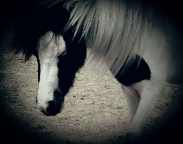 Country Life Downunder Little Horse Black&white