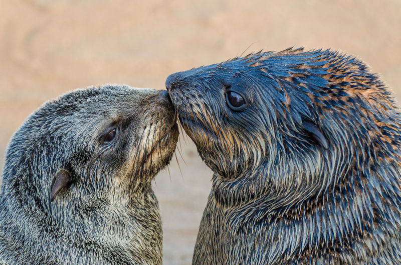 Close-up of two brown fur seal kissing on beach, cape cross seal reserve, namibia