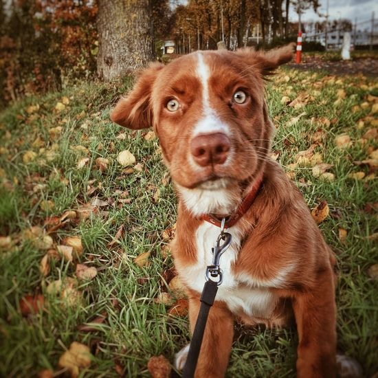 Novia Scotia Duck Tolling Retriever Puppy One Animal Pets Domestic Canine Dog Mammal Animal Themes Domestic Animals Animal Plant Vertebrate Grass Portrait Looking At Camera Leash Field Pet Leash Nature Pet Collar Land