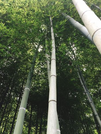 Tree Tree Trunk Growth Bamboo Grove Forest Nature Bamboo - Plant Low Angle View Outdoors Day Green Color Beauty In Nature No People Branch Japan Kamakura