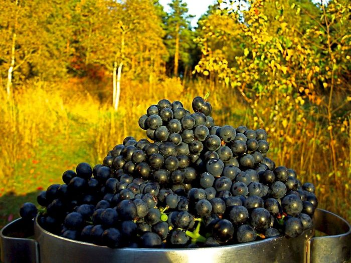 Close-up of black grapes in container