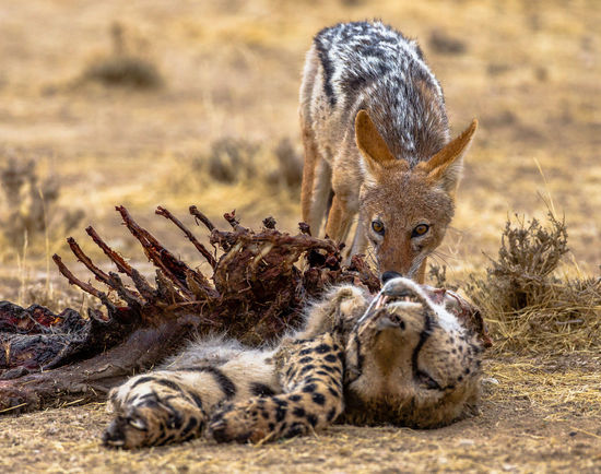 Black backed jackal scavenging on a cheetah that had been killed by lions, in the Kgalagadi. Black Backed Jackal Cheetah Dead Cheetah Nature Animal Themes Animal Wildlife Animals In The Wild Eat Mammal Nature No People Outdoors Scavenger Scavenging That's Nature