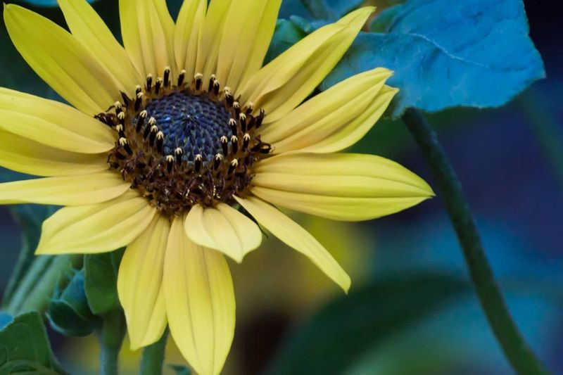 Sunflower Flower Fragility Petal Flower Head Beauty In Nature Nature Freshness Growth Pollen Yellow Plant Day No People Blooming Close-up Outdoors One Animal Animal Themes Black-eyed Susan