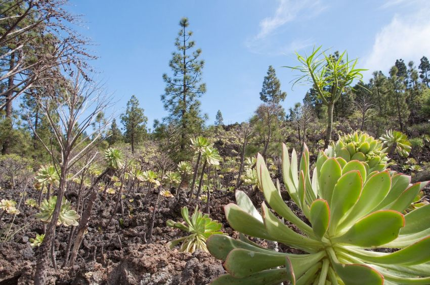 Aeonium at Lava field near Chio Tenerife Landscapes With WhiteWall Nature's Diversities