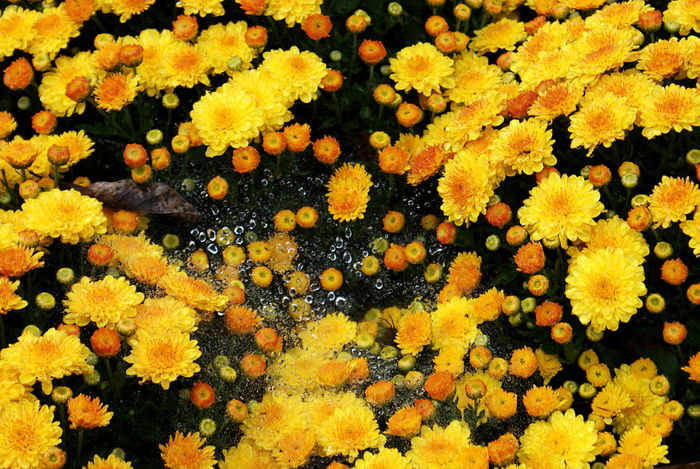 A spider web with glistening drops of water is suspended between bright yellow gold chrysanthemum flowers in a garden. 43 Golden Moments Beauty In Nature Blooming Blossom Close-up Day Flower Flower Head Focus On Foreground Freshness Gold Growth In Bloom Insect Nature No People Petal Plant Spider Web And Rain Water Yellow