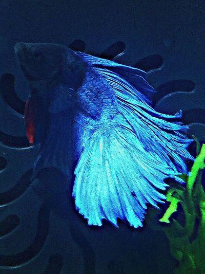 Fish Betta Fish Bettas Bettasiamesefish Bettafishcommunity Bettatank Aquarium Life Aquarium Photography
