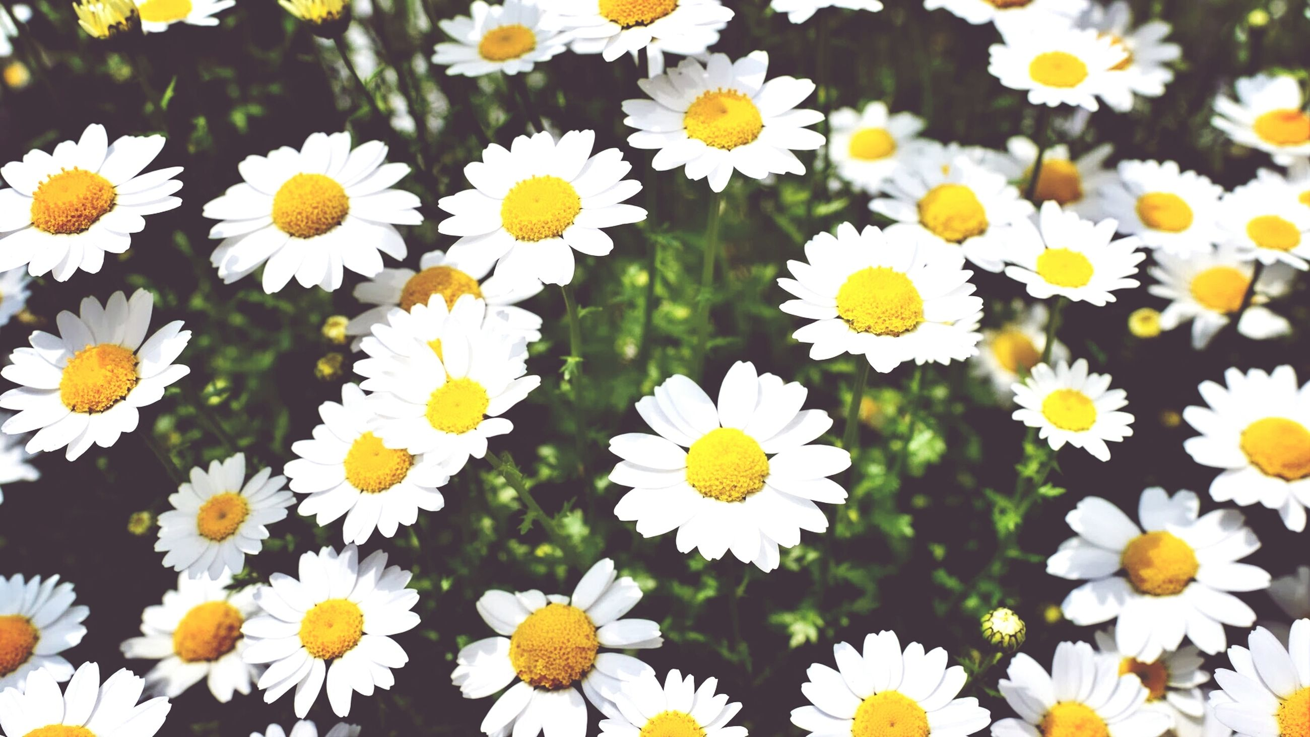 flower, freshness, daisy, fragility, yellow, petal, growth, flower head, white color, beauty in nature, nature, blooming, full frame, plant, high angle view, pollen, backgrounds, field, close-up, in bloom
