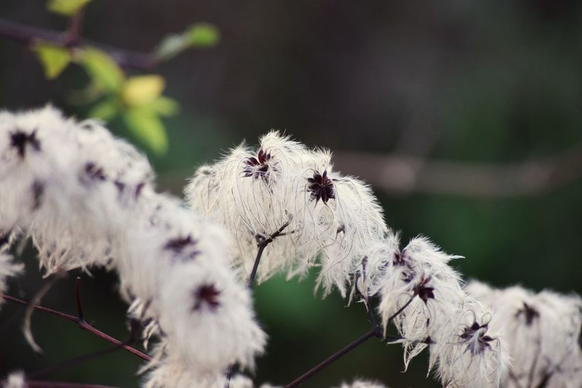 Old man's beard Nikon White Flower EyeEm Selects Flower Nature Focus On Foreground Fragility Growth Close-up Flower Head Beauty In Nature No People Plant Outdoors