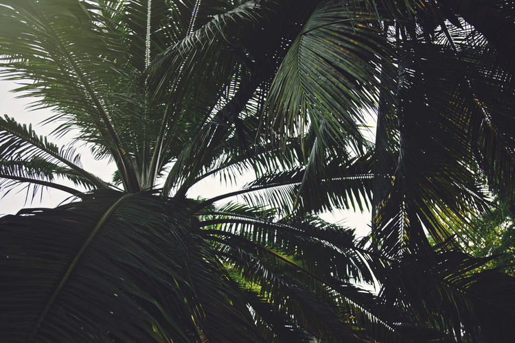 Palm Tree Tropical Climate Tree Plant Palm Leaf Leaf Growth Low Angle View No People Beauty In Nature Nature Plant Part Green Color Day Tranquility Sky Outdoors Botany Coconut Palm Tree Tropical Tree