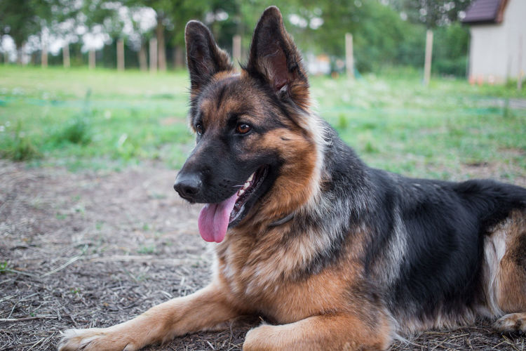 Farm Portrait Of A Woman Animal Themes Close-up Day Dog Domestic Animals Friendly German Shepherd Mammal No People One Animal Outdoors Pets Portrait Summer
