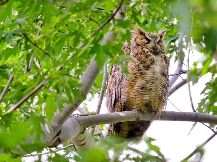 Great horned owl. One Animal Tree Animal Wildlife Animals In The Wild Animal Themes Nature Green Color Day No People Branch Outdoors Owl Beauty In Nature Iguana Close-up Mammal