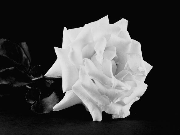 Rose Black & White Fine Art Black And White Photography Beautiful Flowers Black And White Flowers Black Background Flower Nature Roses Rose Petals Blackandwhite Photography