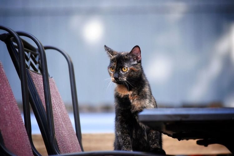 Domestic Cat Domestic Animals Pets One Animal Animal Themes Mammal Focus On Foreground Looking At Camera Feline No People Close-up Portrait Day Outdoors Backyard Photography Pet Photography