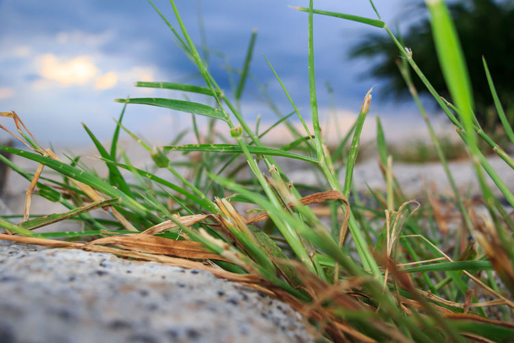 Close-up of grass on field against sky