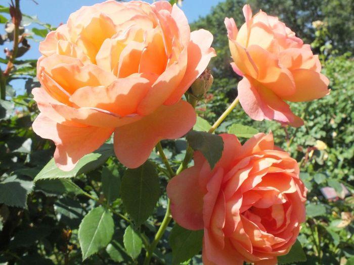 京成バラ園 6月京成バラ園 June 2016 Rosegarden Beautifulgarden Beautiful Nofilternoedit