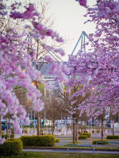 Beauty In Nature Flower Kirschbaum Mönchengladbach No People Nordpark Pink Color Purple Sky Springtime Stadion Tree