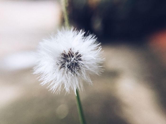 Flower Focus On Foreground White Color Fragility Dandelion Close-up Nature Flower Head Growth Day Outdoors No People Beauty In Nature Freshness Plant