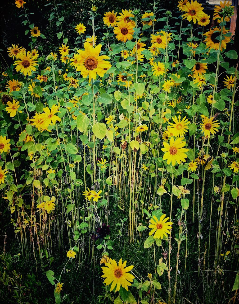 flower, growth, yellow, plant, nature, blooming, freshness, beauty in nature, fragility, spring, petal, blossoming, field, blossom, vegetation, black-eyed susan, flora, uncultivated, flower head, outdoors, no people, flowerbed, day