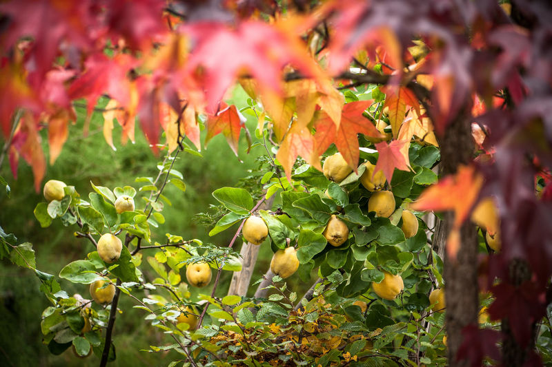 Quince tree at farm during autumn