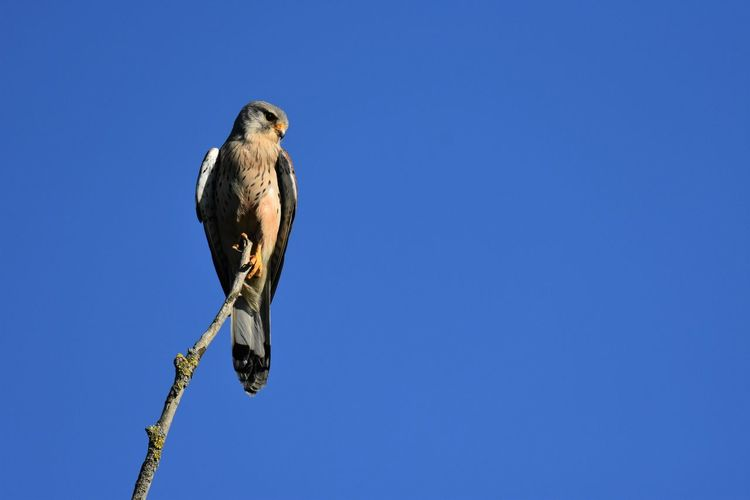 Low angle view of eagle perching on branch against blue sky