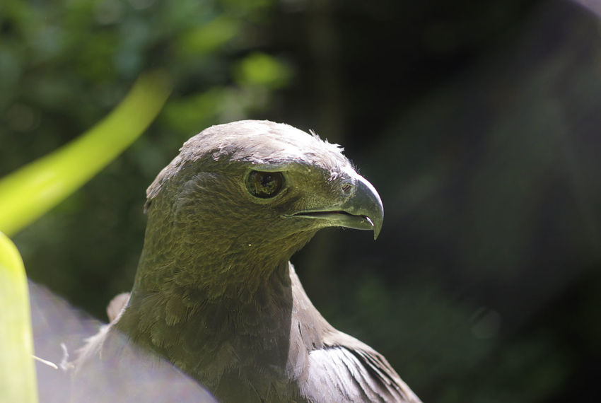eagle? Eagle Animal Themes Animal Wildlife Animals In The Wild Beak Bird Bird Of Prey Birds Close-up Day Focus On Foreground Nature No People One Animal Outdoors Perching