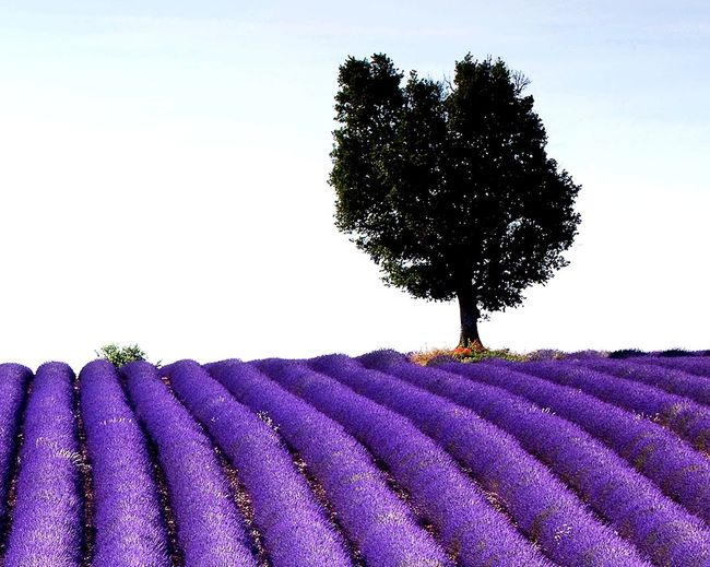 Agriculture Purple Lavender Field In A Row Rural Scene Flower Tree Landscape Perfume Herb Nature Beauty In Nature Scenics Outdoors No People Day Sky Freshness