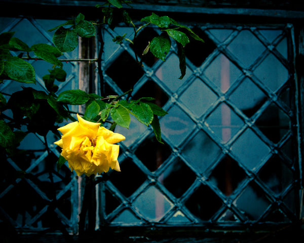 Backgrounds Branch Flowers Focus On Foreground Leaded Leaf Learning Metal No People Pattern Rosé Window Yellow Yellow Rose