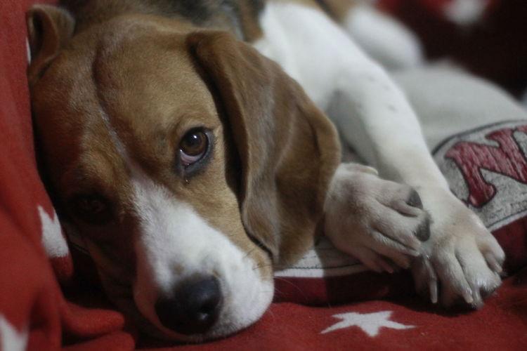 Animal Themes Beagle Beagle Sofa Beagleoftheday Dog Dog Sofa Domestic Animals Looking At Camera Pets