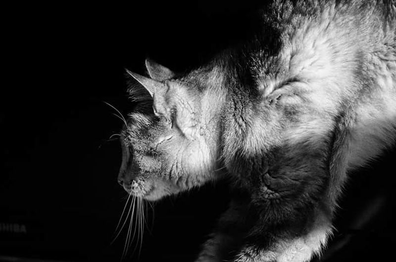 Cat Animals One Animal Beauty Pets Black And White Domestic Animals The Week Of Eyeem Showcase April