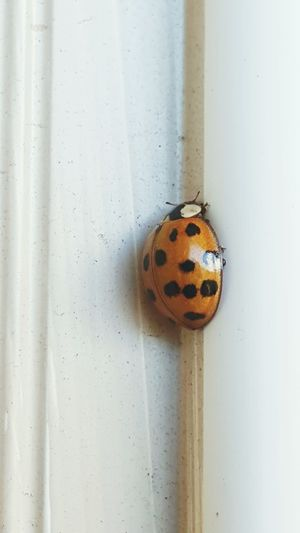 EyeEm Selects Insect No People Close-up Day Nature Ladybug Bugslife Simplicity Polkadotted Beetles One Insect One Bug Itty Bitty  Itty Bitty Critter