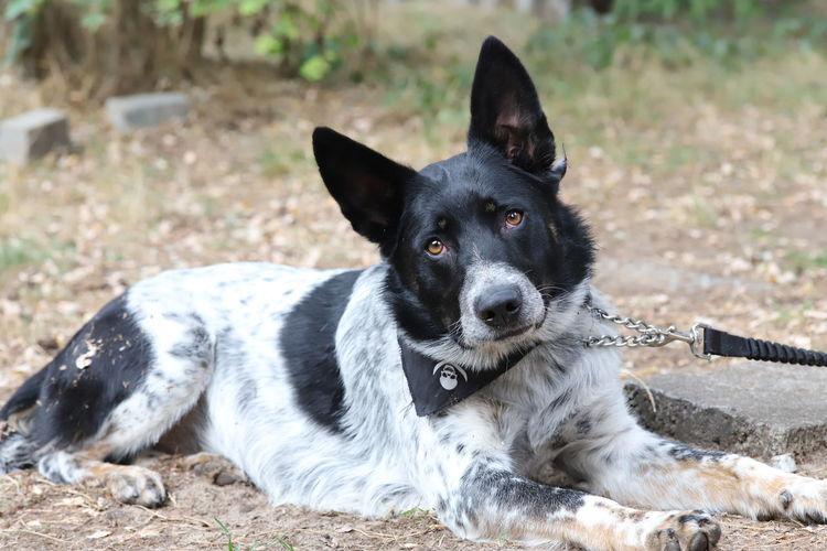 Portrait of black dog relaxing on field