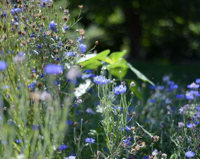 Flowers Wiese  Kornblume Kornblumen Blue Meadow Nature Closeup