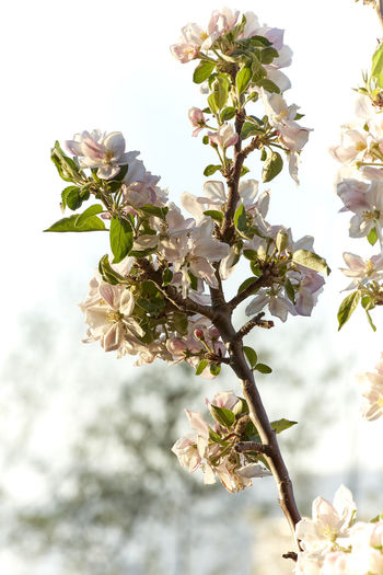 Beauty In Nature Blossom Branch Cherry Blossom Cherry Tree Close-up Day Flower Flower Head Flowering Plant Focus On Foreground Fragility Freshness Growth Low Angle View Nature No People Outdoors Petal Plant Pollen Sky Springtime Tree Vulnerability