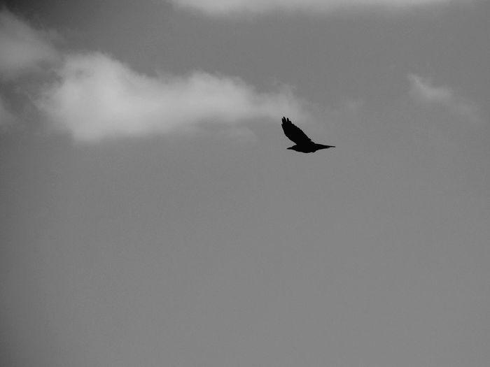 Berd Crow Sky Black And White птица ворона небо черно-белое