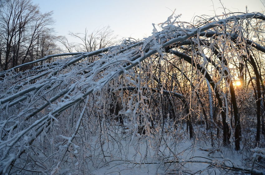 Ice Storm of 2014 Bowing Trees Chinese Maple Leaves Drip Drops Frozen Frozen In Time Frozen Nature Ice Age Iced Sea Shells IceStorm Icy It'sColdOutside It's Cold Outside IPS2016Winter