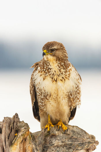 Common Buzzard Buzzard  Buteo Buteo Bird Of Prey Prey Predator Bird Animal Themes One Animal Animal Vertebrate Animal Wildlife Animals In The Wild Perching Focus On Foreground Solid Close-up Nature No People Day Full Length Wood - Material Outdoors Eagle
