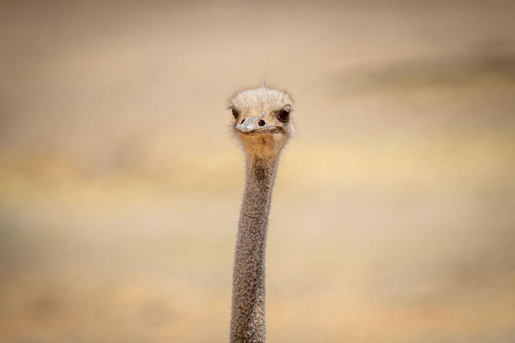 Close-up of female common ostrich in sun
