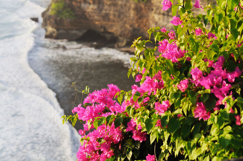 Bougainvillea blooming on cliff by sea