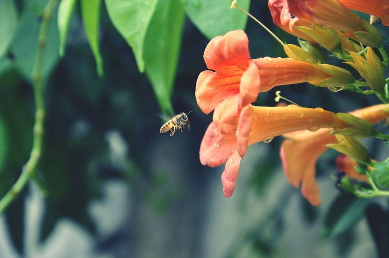 Close-Up Of Honey Bee Buzzing By Orange Flower At Park