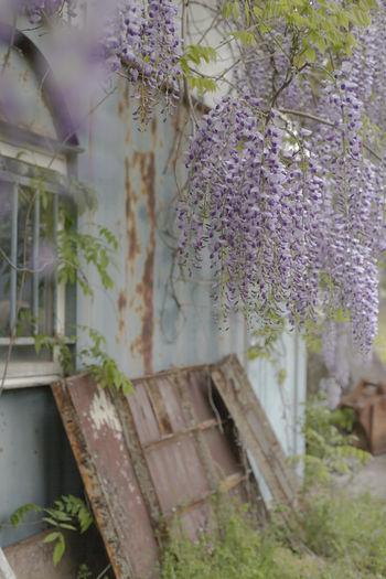 Purple flowering plants hanging from tree
