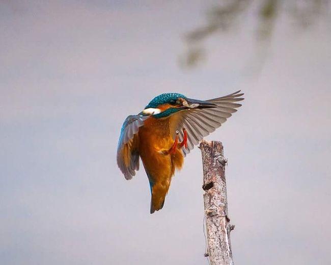 Ijsvogel Ijsvogels Commonkingfisher Kingfisher Kingfisherworld Eating Fish Fisheating Water Blue Diamond Colors Diamondbird Hunting Diver